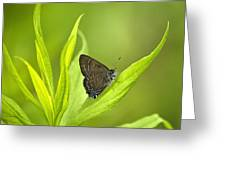 Banded Hairstreak Butterfly Resting On Green Leaf Greeting Card
