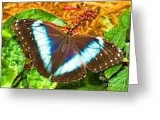 Banded Morpho Butterfly Greeting Card