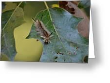 Banded Tussock Moth Caterpillar Greeting Card