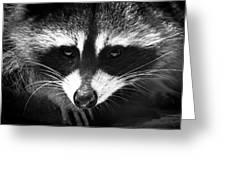 Bandit Greeting Card