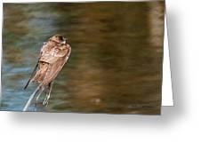 Bank Swallow Resting Greeting Card
