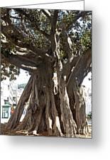 Banyan Trees In Velez Malaga's Parque De Andalucia Greeting Card