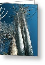 Baobab Trees Greeting Card
