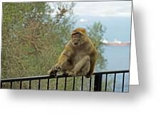 Barbary Macaque  Greeting Card
