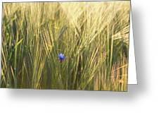 Barley And Corn Flowers In The Field Greeting Card