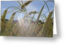 Barley Field Greeting Card