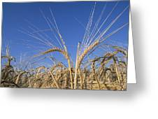 Barley Field Showing Heads Of Grain Greeting Card
