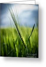 Barley Greeting Card