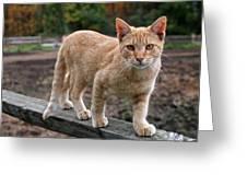Barn Cat Greeting Card