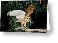 Barn Owl Alights Greeting Card