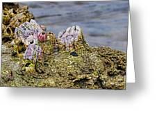 Barnacles Greeting Card