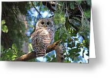 Barred Owl And Holly Greeting Card