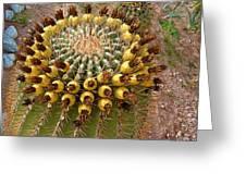 Barrel Cactus Bearing Fruit At El Mirador Rv Resort In San Carlos-sonora-mexico Greeting Card