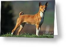 Basenji Dog Greeting Card