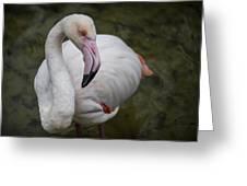 Bashful And Shy Flamingo. Greeting Card