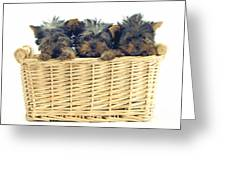 Basket Of Yorkies Greeting Card