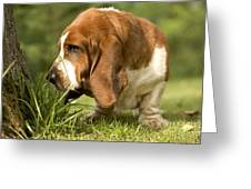 Basset Hound Sniffing Greeting Card