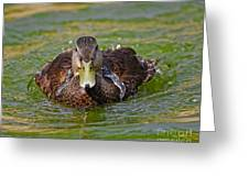 Bathing Black Duck Greeting Card