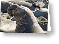 Bull Elephant Seal Battle Scars Greeting Card