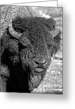 Battle Worn Bull Greeting Card