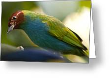 Bay-headed Tanager - Tangara Gyrola Greeting Card