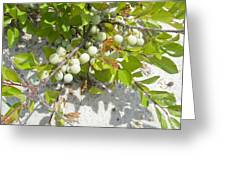 Beach Plum - Prunus Maritima - Island Beach State Park Nj Greeting Card