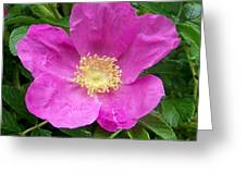 Pink Beach Rose Fully In Bloom Greeting Card