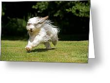 Bearded Collie Running Greeting Card