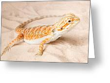 Bearded Dragon Pogona Sp. On Sand Greeting Card