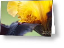 Bearded Iris Dwight Enys Abstract Greeting Card by Tim Gainey
