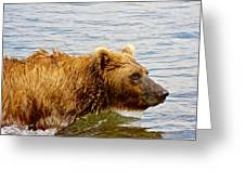 Bear's Eye View Of Swimming Grizzly In Moraine River In Katmai Greeting Card