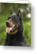 Beauceron Dog Greeting Card