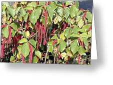 Beautiful Acalypha Pendula Or Firetail Plant Photograph By Lee