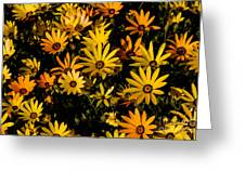 Beautiful African Daisies Greeting Card