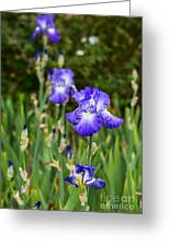 Beautiful And Colorful Iris. Greeting Card