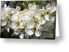 Beautiful Apple Blossoms Greeting Card