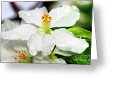 Beautiful Apple Flower With Water Drops Greeting Card
