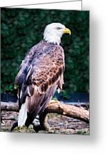Beautiful Bald Eagle Greeting Card by Jason Brow