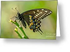 Beautiful Black Swallowtail Greeting Card
