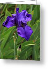 Beautiful Purple Iris Flower Art Greeting Card