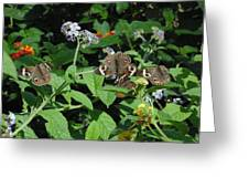Beautiful Buckeyes Greeting Card