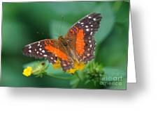 Red Anartia Butterfly 1 Greeting Card