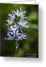 Beautiful Camas Lily In Idaho Greeting Card