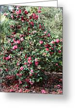 Beautiful Camellia Bush Greeting Card