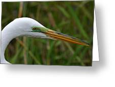 Beautiful Great Egret Greeting Card