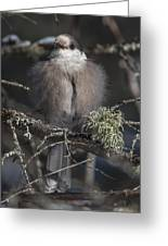 Beautiful Grey Jay Pose Greeting Card