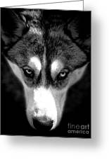 Beautiful Husky Greeting Card by Karen Lewis