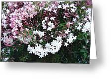 Beautiful Jasmine Flowers In Full Bloom Greeting Card