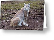 Beautiful Lynx Greeting Card