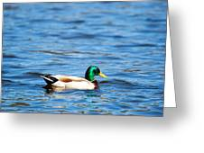 Beautiful Male Mallard Greeting Card